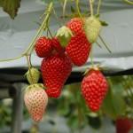 イチゴの実が大きくなる段階
