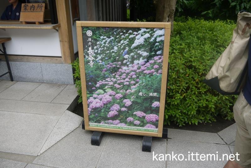 長谷寺案内所の紫陽花(あじさい)の写真